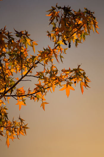 Low Angle View Of Maple Tree Against Sky During Sunset