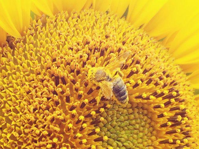 EyeEmNewHere Pollination Pollen Bee Pollen Drunk Beauty In Nature Yellow Sunflower Garden Photography Garden Love Garden Flower Sunshine Flowers Petal Bumblebee Honey Bee Honey Cantfly Busy Bee Nature