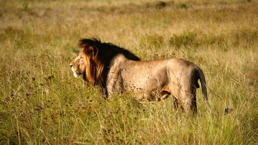 Side view of a lion on landscape