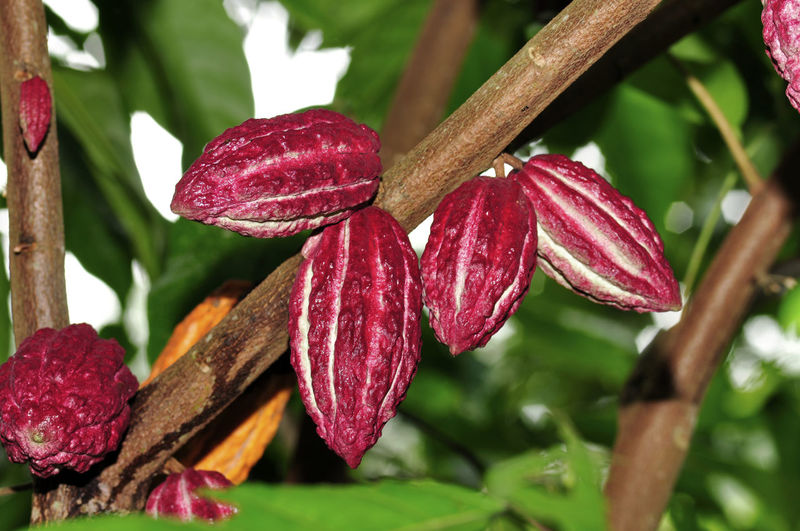 cacao fruits on tree Plant Growth Close-up Beauty In Nature Freshness Focus On Foreground Flowering Plant Flower Red No People Nature Day Vulnerability  Fragility Plant Part Petal Tree Leaf Flower Head Inflorescence Maroon