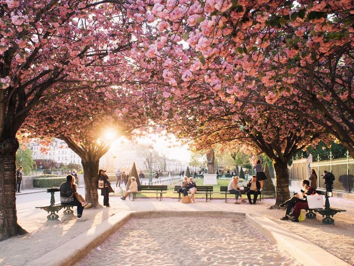 People sitting on benches below pink flowering trees at park
