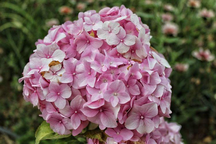 Hydrangeas Flower Flower Head Pink Color Peony  Close-up Plant Hydrangea