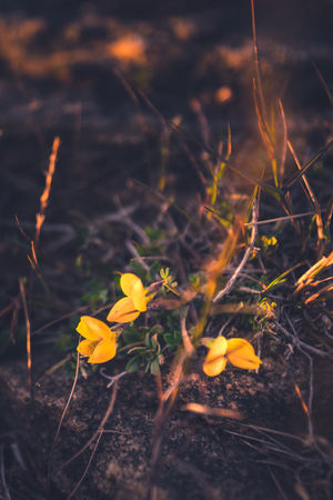 The yellow three. Flower Plant Yellow Nature Close-up Growth Leaf Fragility Autumn No People Uncultivated Flower Head Outdoors Springtime Day Beauty In Nature Freshness Sweden Serenity Plant Nature Blossom Pentax