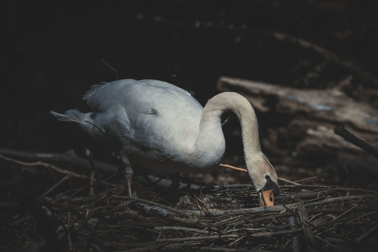 Close-up of a swan in nest