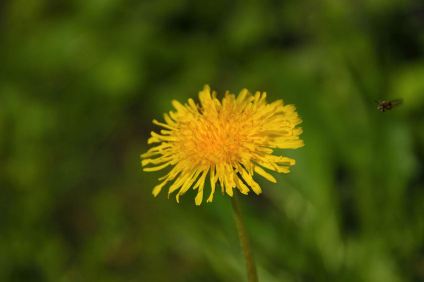 Attack Beauty In Nature Bee Blooming Close-up Dandelion Day Flower Flower Head Flying In Focus On Foreground Fragility Freshness Growth Movement Nature No People Outdoors Petal Plant Yellow