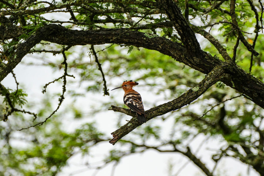 Animal Animal Themes Animal Wildlife Animals In The Wild Beauty In Nature Bird Branch Day Hoopoe Low Angle View Nature No People One Animal Outdoors Perching Tree
