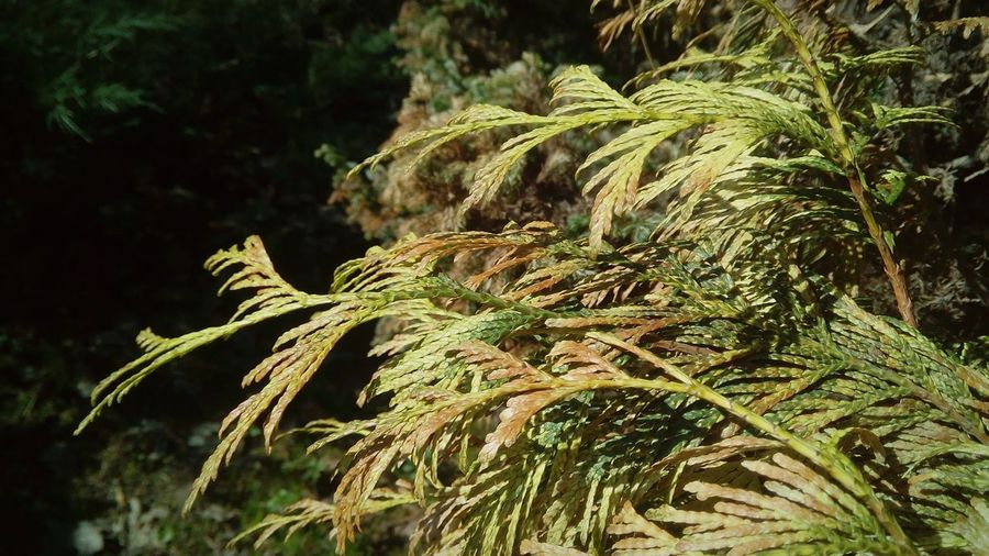 Tree Pinaceae Pine Tree Cannabis Plant Close-up Plant Green Color Branch Fern Bare Tree Tree Trunk Woods Frond Plant Bark Lone Fallen Tree Growing Plant Life Needle - Plant Part In Bloom Bark