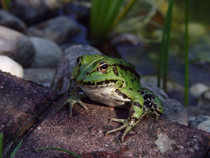 Animal Themes One Animal Animals In The Wild Wildlife Green Color Reptile No People Animal Looking Frog Frosch
