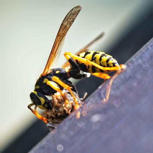 Wasp and larva