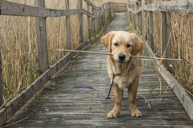 Close-up of dog carrying twig in mouth