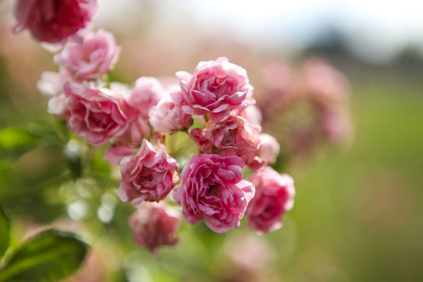 Beauty In Nature Blooming Blossom Botany Bud Bunch Of Flowers Close-up Day Flower Flower Head Focus On Foreground Fragility Freshness Growth In Bloom Nature No People Outdoors Petal Pink Color Plant Selective Focus Softness Stem Twig