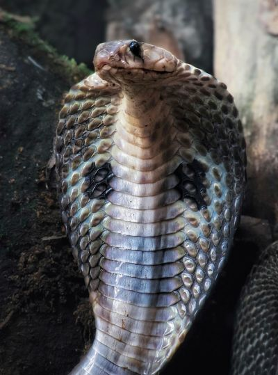 Venomous cobra One Animal Animal Themes Animal Animals In The Wild Animal Wildlife Reptile Snake Close-up Vertebrate Animal Body Part Animals In Captivity No People Day Focus On Foreground Poisonous Nature Natural Pattern Zoo Outdoors Animal Head  Animal Scale Cobra Indian Cobra Najanaja