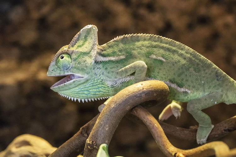 Close-up of chameleon on plant