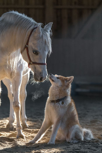 Akita Dog And Horses Akita Inu Animal Themes Arabian Horse Day Dog Domestic Animals Friendship Horse Mammal No People Outdoors Pets