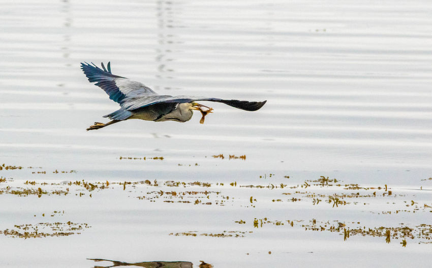 A heron out in