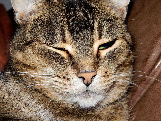 "RIP ""Whiskey"" Animal Themes Cat Close-up Domestic Animals Domestic Cat Face Feline Indoors  Katze Kopf Mammal No People One Animal Pets Portrait Sleeping Tier"