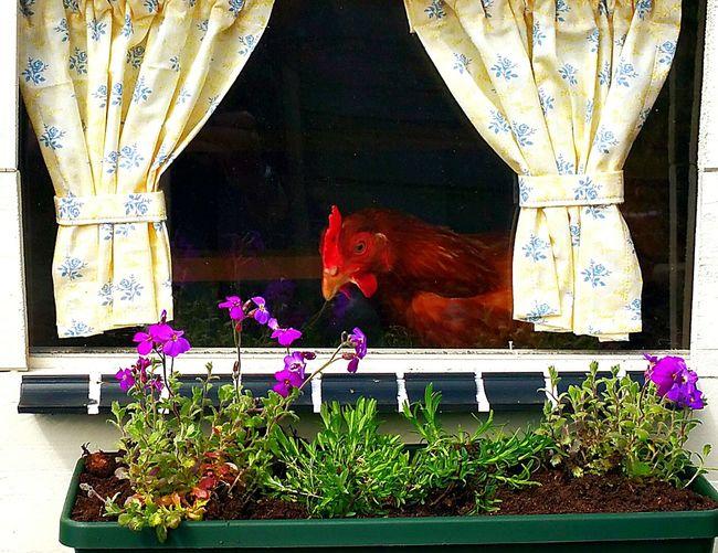 EyeEmNewHere Chickens Henhouse Tonden Gelderland Chicken Penthouse
