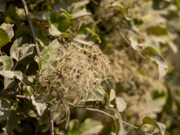 Autumn Beauty In Nature Botany Clematis Crimea Day Focus On Foreground Green Grey Leaves Liana Nature No People Non-urban Scene Outdoors Seeds Selective Focus