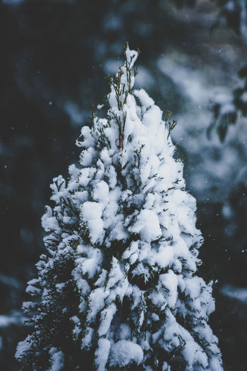 Close-up of snow covered tree