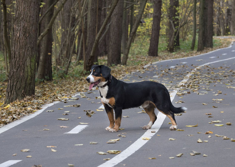 The Entlebucher Sennenhund on the road in the Autumn Forest Animal Animal Themes Animals; Dogs; Pets; Playful; Fun; Happiness; Playing; Mammal; Wood; Animal; Nature; Tree; Pet; Cute; Domestic; Purebred; Yellow; Shepherd; Outdoors; Young; Sunlight; Nobody; Weather; Sunshine; Leaf; Puppy; Autumn; Park; Forest; Fall; Leaves; Trees. Canine Day Dog Domestic Domestic Animals Forest Land Mammal Nature No People One Animal Pets Plant Purebred Dog Road Side View Transportation Tree Vertebrate WoodLand