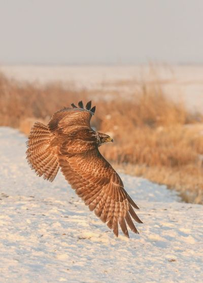 Flying One Animal Bird Animal Wildlife Nature Animals In The Wild Bird Of Prey Spread Wings No People Outdoors Animal Themes Beauty In Nature Eagle - Bird On The Move White Background Living Organism Animals In The Wild Winter Nature