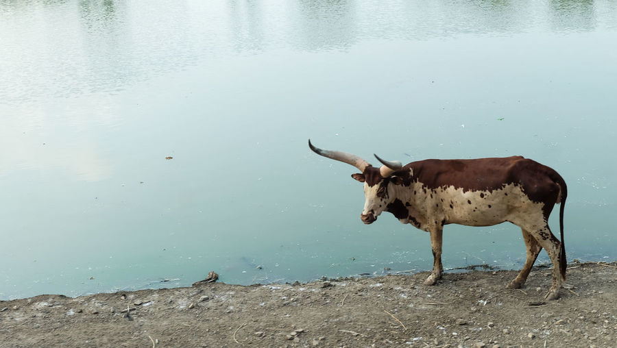 Cow standing in a lake