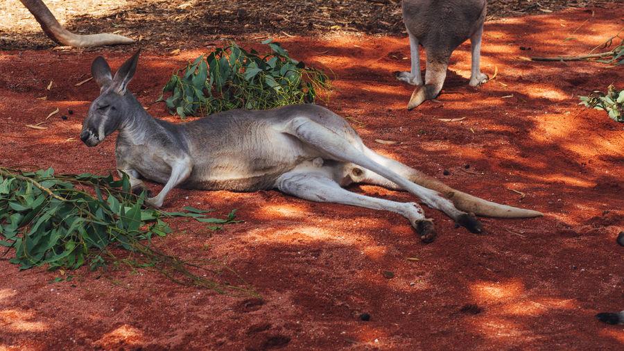 Kangaroo in a field