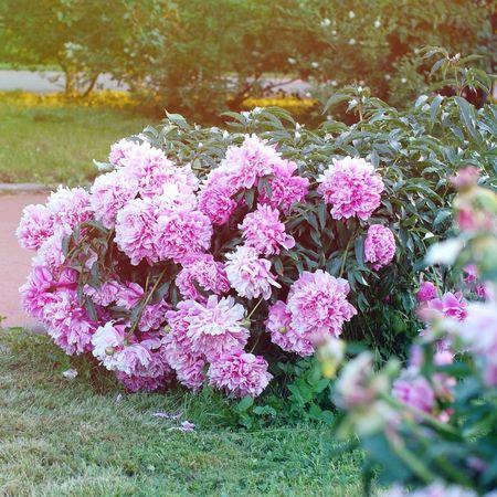 Peony  пион Flowers