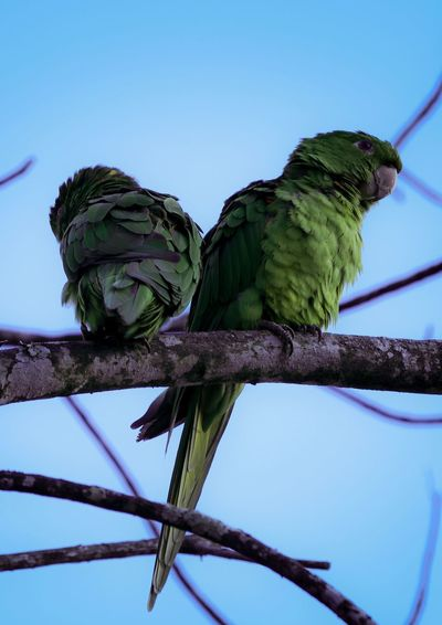 Nature Vibes | The Couple Parakeet Perching Low Angle View Animals In The Wild Animal Themes Tree Animal Wildlife Branch Bird Nature No People Clear Sky Blue Parrot Green Color Sky Outdoors Day Beauty In Nature Close-up
