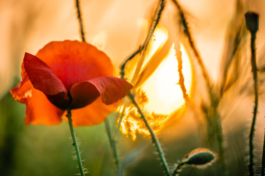 Mohn am Abend EyeEm Best Shots Beauty In Nature Close-up Field Flower Flower Head Flowering Plant Focus On Foreground Fragility Freshness Growth Nature No People Orange Color Outdoors Plant Plant Stem Poppy Selective Focus Sunset Tranquility Vulnerability
