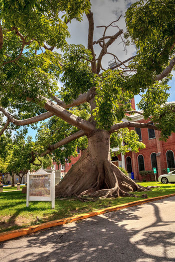 Large Kapok tree Ceiba pentandra, also called the Ceiba tree, growing in front of the Monroe County Courthouse in Key West, Florida Ceiba Pentandra Ceiba Tree Kapok Tree Monroe County Courthouse Architecture Branch Building Building Exterior Built Structure Day Growth Nature No People Outdoors Plant Roots Sky Tree Tree Roots  Tree Trunk Trunk