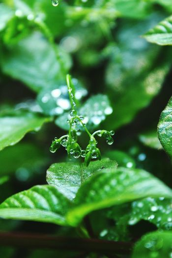Green droplets.. Nature Leaf Close-up Green Color Plant Beauty In Nature EyeEm Best Shots EyeEm Nature Lover EyeEm Best Shots - Nature Nature_collection Due Nature Morning Vertical Leaf Nature Green Color Close-up Insect One Animal Beauty In Nature Plant