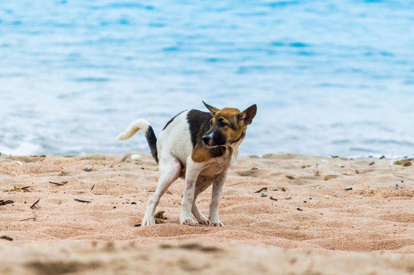 Animal Animal Themes Beach Canine Day Dog Domestic Domestic Animals Excrete Land Mammal Nature No People One Animal Pets Running Sand Sea Vertebrate Water