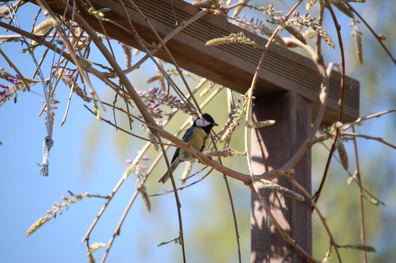 Low angle view of great tit perching on branch