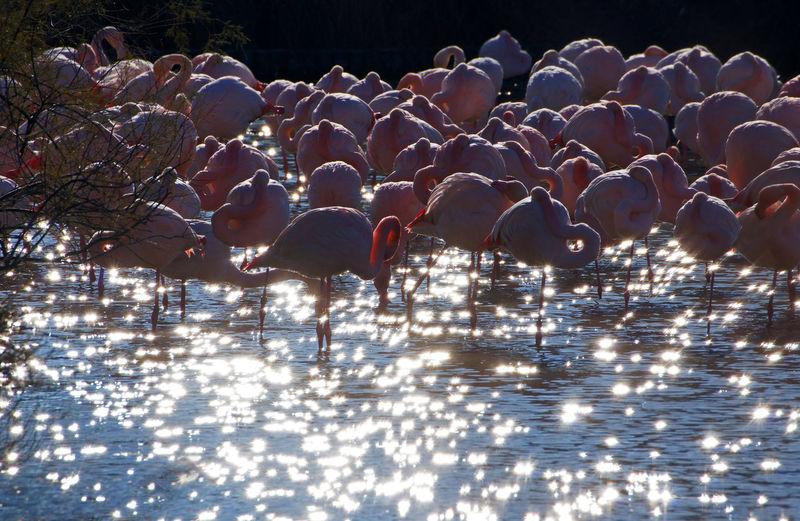 Flamingos In Lake