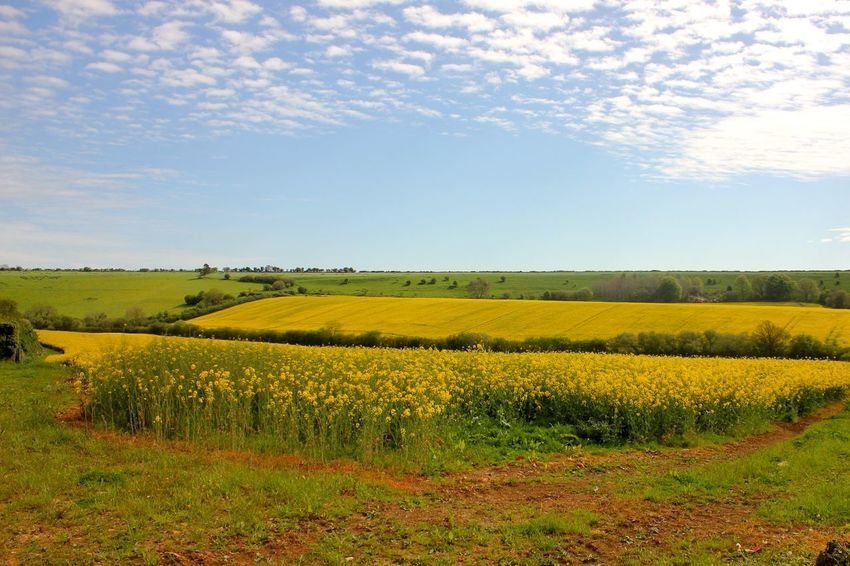 rapeseed field Agriculture Beauty In Nature Crop  Day Farm Field Grass Green Color Growth Landscape Nature No People Outdoors Rural Scene Scenics Sky Tranquil Scene Tranquility