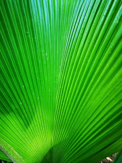 Frond Backgrounds Leaf Full Frame Palm Tree Drop Palm Leaf Close-up Green Color Plant Leaf Vein Natural Pattern Focus