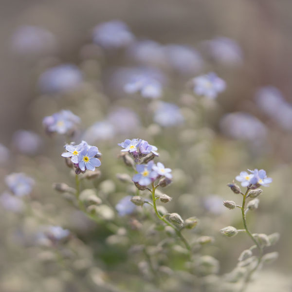 Beauty In Nature Botany Close-up Fineart Fineartphotography Flower Flower Head Flowering Plant Forget-me-not Fragility Freshness Growth Inflorescence Lavender Macro No People Outdoors Petal Plant Purple Selective Focus Soft Focus Softness Vergissmeinnicht Vulnerability