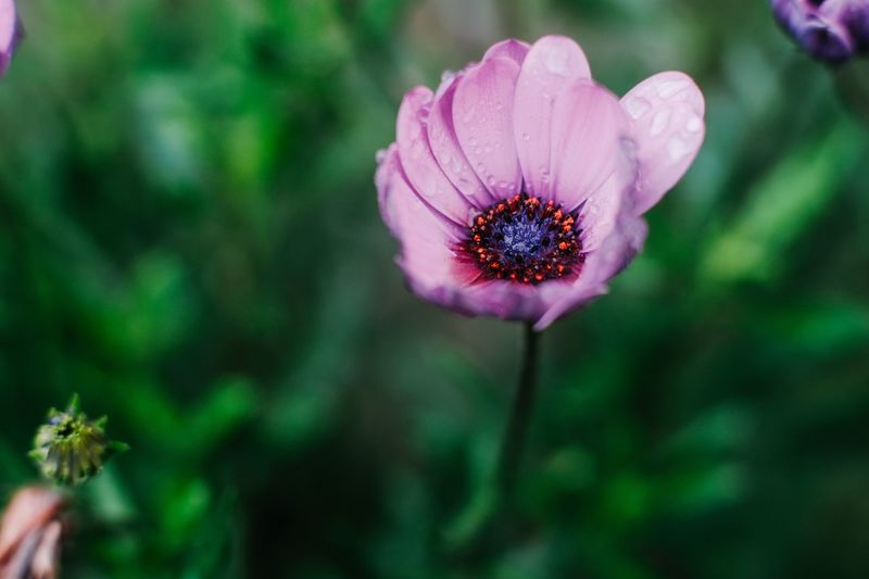 Flower Flowering Plant Plant Growth Beauty In Nature Fragility Freshness Vulnerability  Flower Head Focus On Foreground Close-up Petal Inflorescence Nature Purple No People Day
