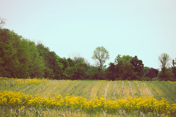 Beauty In Nature Clear Blue Sky Clear Sky Field Mustard Flower Rows Trees Trees And Sky