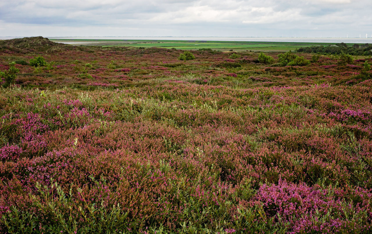 Morsum Cliff, Sylt Heide Heidekraut Coastline Morsum Cliff, Sylt Morsum Kliff Morsum-Kliff Nature Reserve Sylt, Germany Beauty In Nature Field Flower Heather Heather Flower Landscape Morsum Nature No People Northsea Outdoors Overcast Plant Sylt Sylt_collection