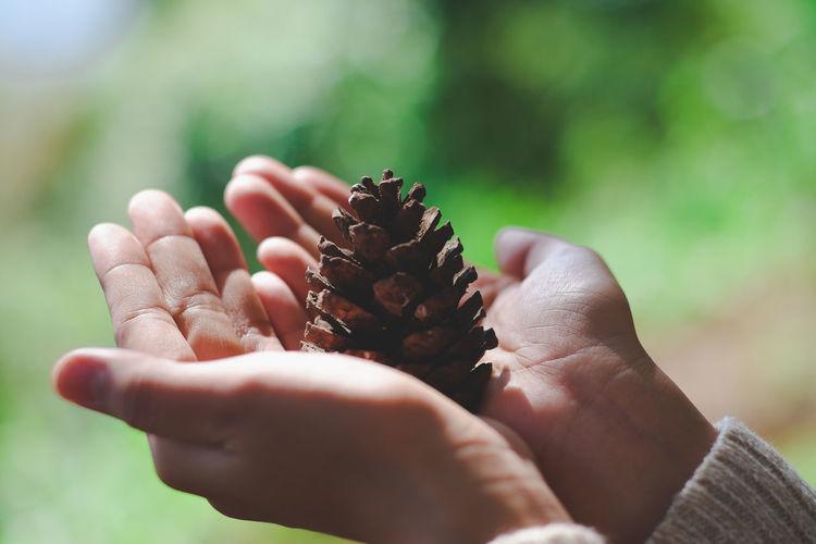 🍁 Pine Cones