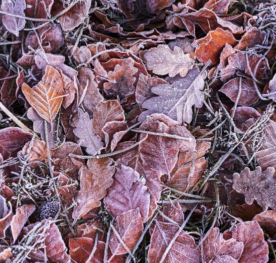 Frozen leaves during the Arctic blast in Cumbria UK Canvas Christmas Frost Frozen Ice Winter Arctic Blast Backgrounds Beauty In Nature Christmas Card Close-up Cold Festive Flower Fragility Freeze Full Frame Hoar Frost Leaf Nature No People North West Weather Outdoors Room For Text Season