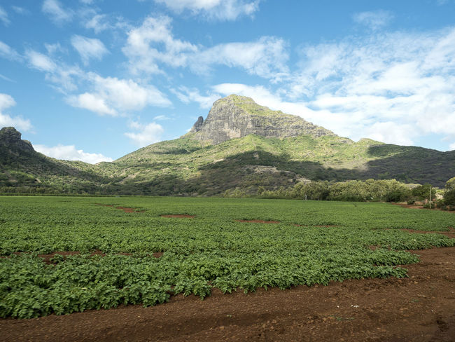 Agriculture Plant Plants Potato Agriculture Beauty In Nature Cloud - Sky Day Field Green Color Landscape Mauritius Mountain Mountain Range Nature No People Plant Plantage Potatoes Sky