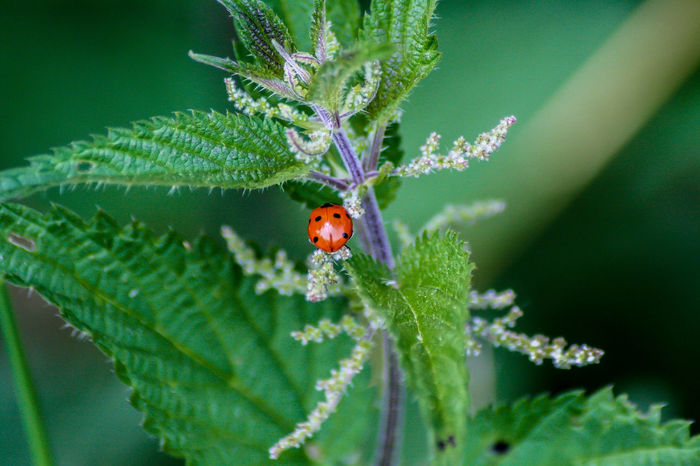 Ladybug Animal Themes Animals In The Wild Beauty In Nature Close-up Day Fragility Green Color High Angle View Insect Ladybug Leaf Nature No People One Animal Outdoors Plant Red Tiny