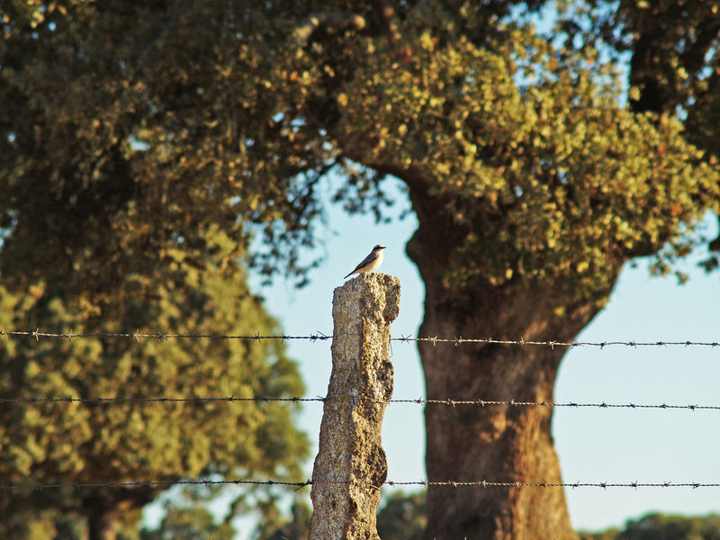Animal Animal Themes Animal Wildlife Animals In The Wild Barbed Wire Beauty In Nature Bird Day Focus On Foreground Leopard Low Angle View Mammal Nature No People One Animal Outdoors Perching Quercus Quercus Ilex Sky Tree Wild Wildlife