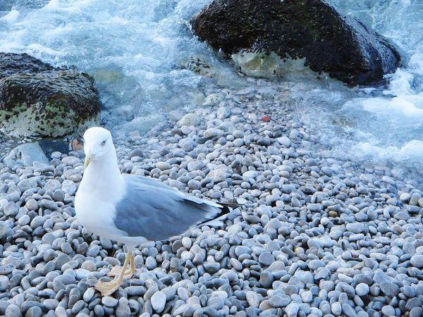 Capri, Italy Gabbiano Summer Exploratorium One Animal Animals In The Wild Animal Themes Animal Wildlife Seagull Rock - Object White Color Beauty In Nature Beach Sea Sea Bird Sea Life Van Gango