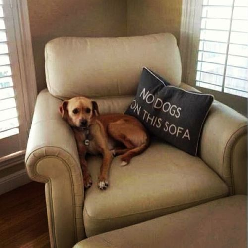Apparently, dogs can't read. Dogsgram Nodogsallowed Couchcushion