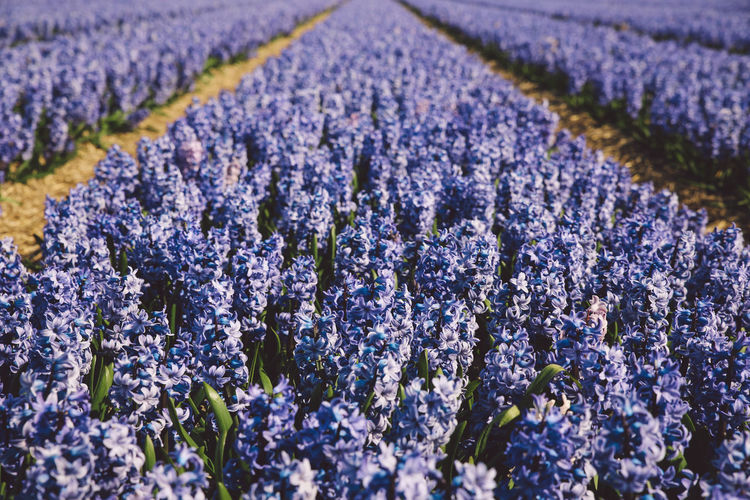 Close-Up Of Lavender Field