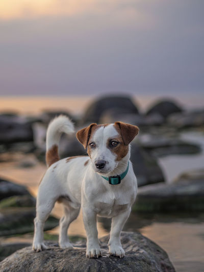 Portrait of dog on rock against sky during sunset